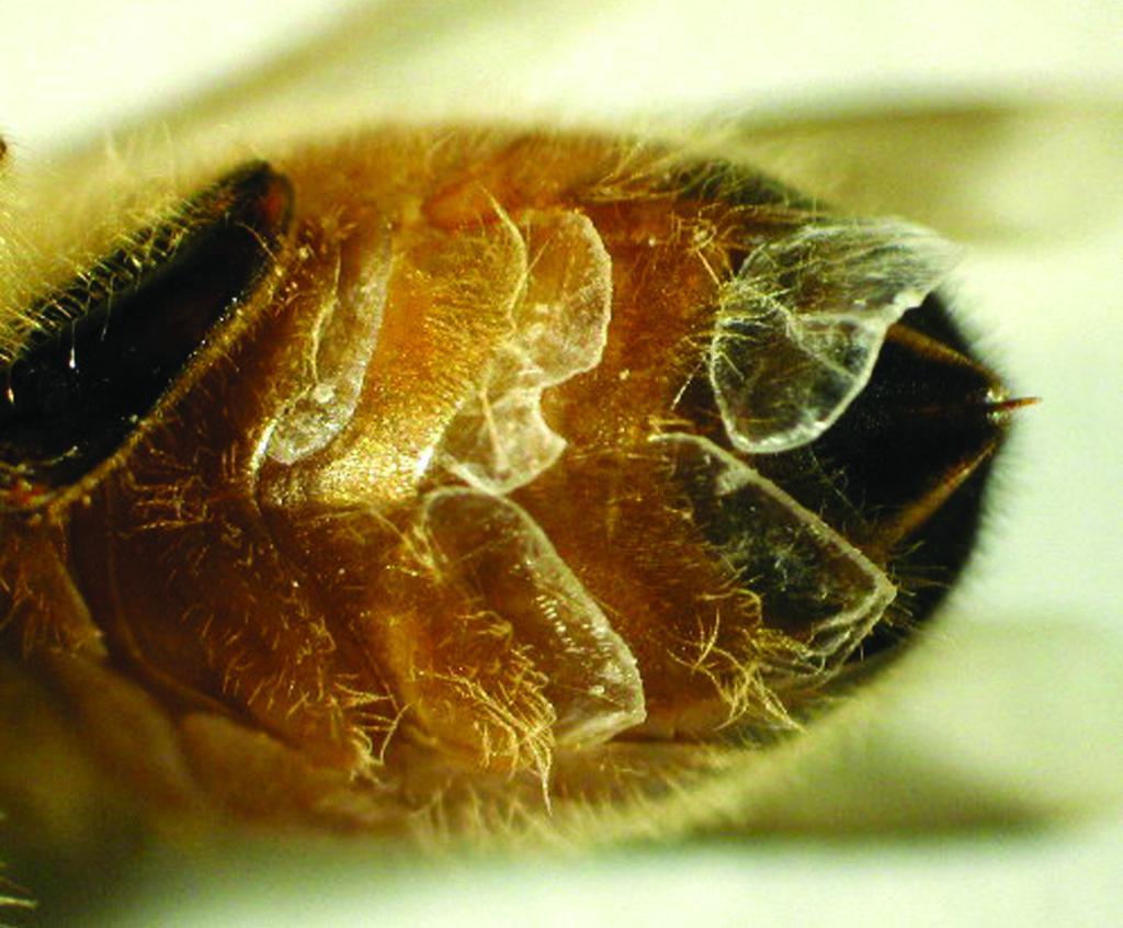 Восковая железа у пчел