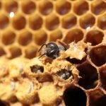 Откуда пчелы берут воск для сотов
