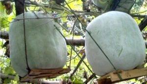 Семенаград купить восковую тыкву