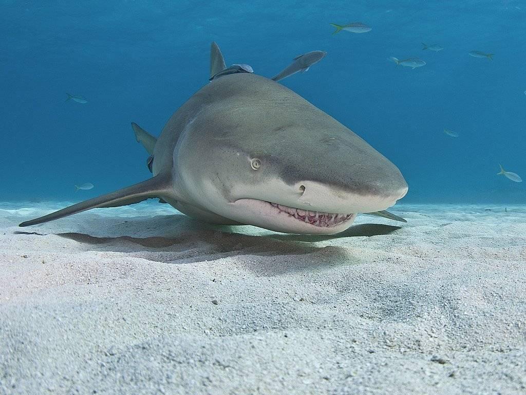 Акула на воске
