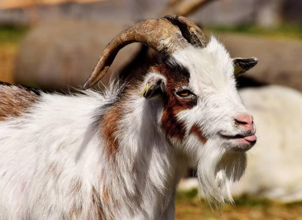 Отливка воском значение фигуры козла