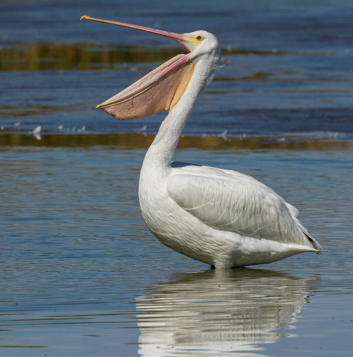 Пеликан на воске
