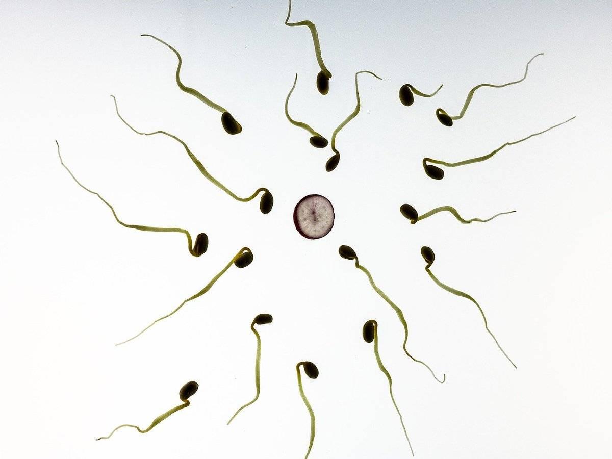 Сперматозоид на воске
