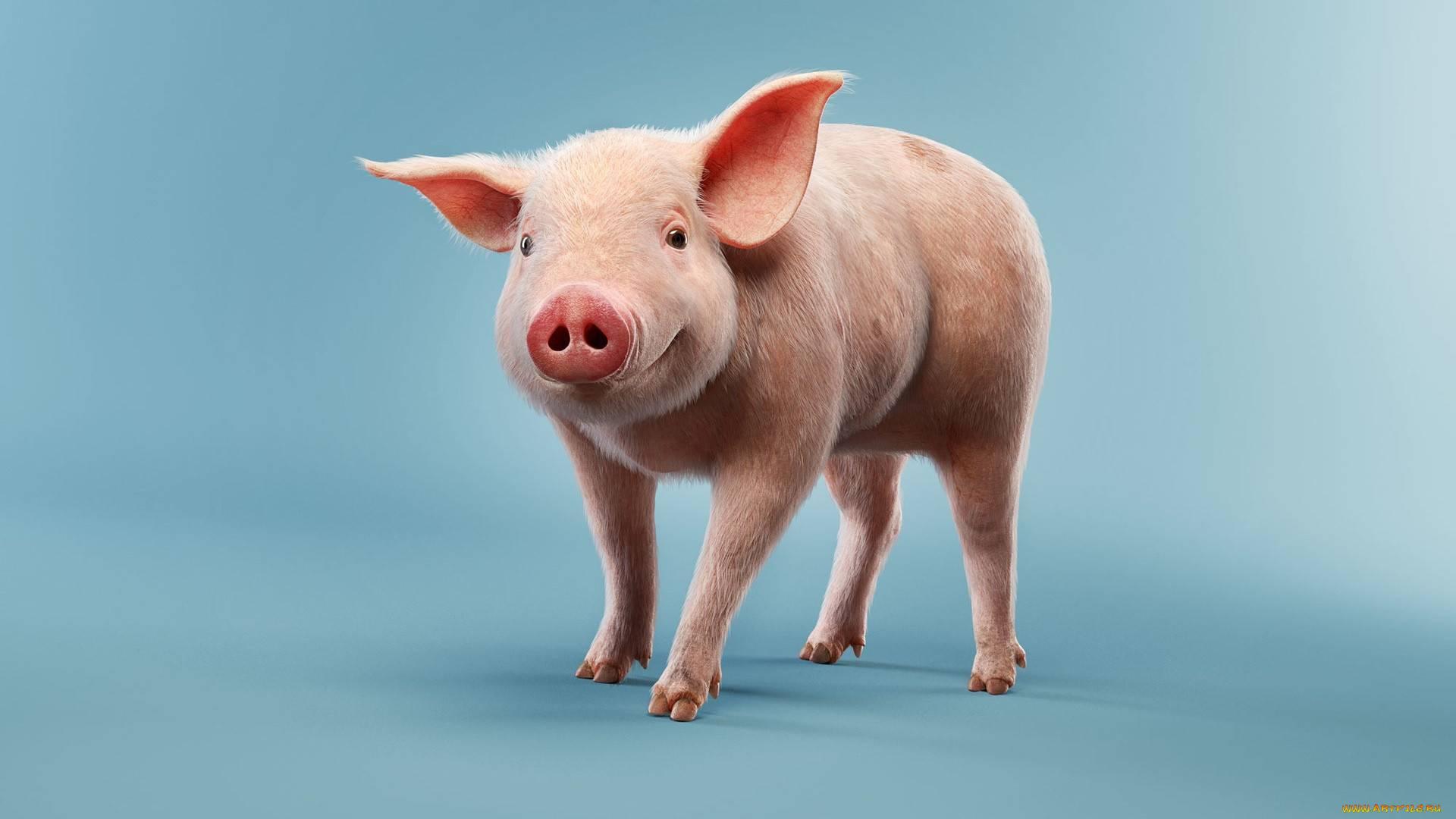Свинья на воске