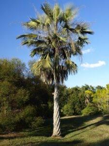 Дерево карнауба