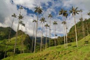Восковая пальма Киндио