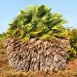Восковая пальма