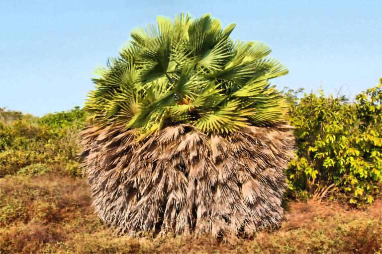 Восковая пальма карнауба