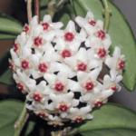 Почему не цветет восковой плющ