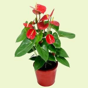 Комнатный цветок с восковыми красными цветами