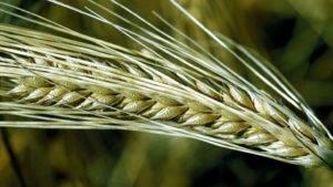 Молочно восковая спелость пшеницы